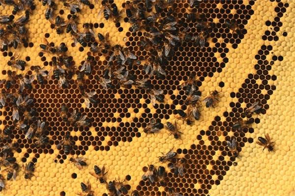 Cận cảnh một tổ ong tuyệt đẹp đã được cắt xuống.