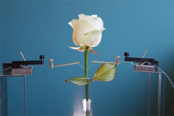Cấy mạch điện tử vào trong cây hoa hồng. (Ảnh: internet)