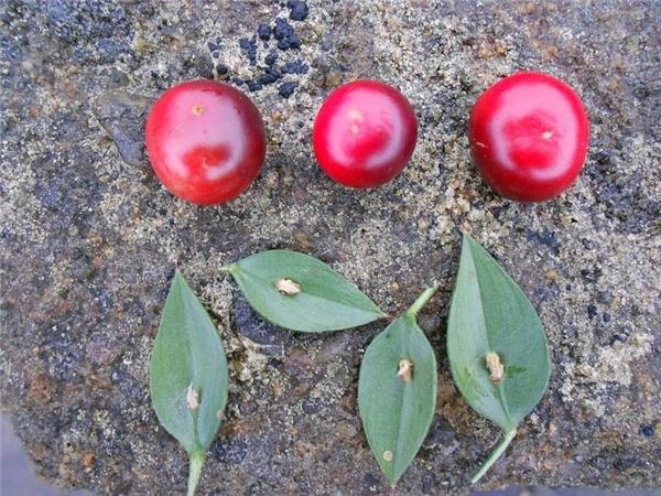 Loại cây độc nhất vô nhị: quả đỏ mọng mọc ra từ... giữa lá