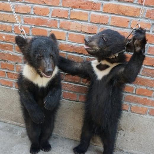 """Những chú gấu bị """"treo cổ"""" bằng một sợ dây xích để tập đi bằng 2 chân."""