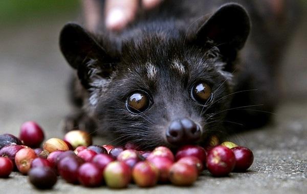 Những chú chồn bị ép ăn quả mọng để nhanh lên men trong dạ dày và làm giảm đi vị đắng của hạt cà phê.