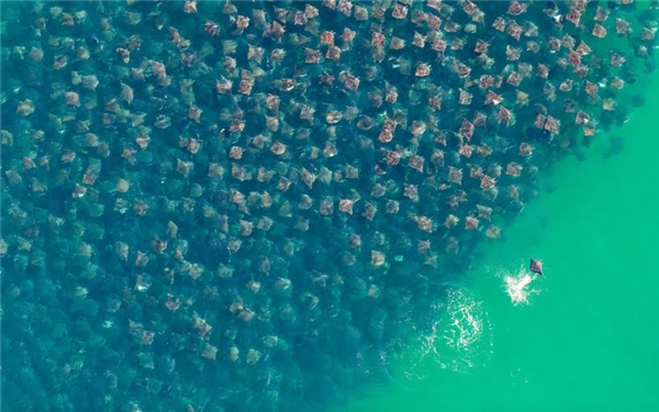 Còn đây là cảnh một bầy cá đuối đang di cư. Chỉ tưởng tượng đến cảnh bạn bị rơi xuống giữa đoàn quân này cũng đủ sởn gai ốc rồi.