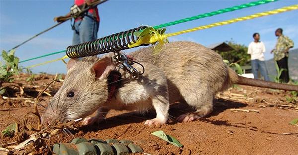 Chuột đang dò bom mìn bằng mũi.(Ảnh: Internet)