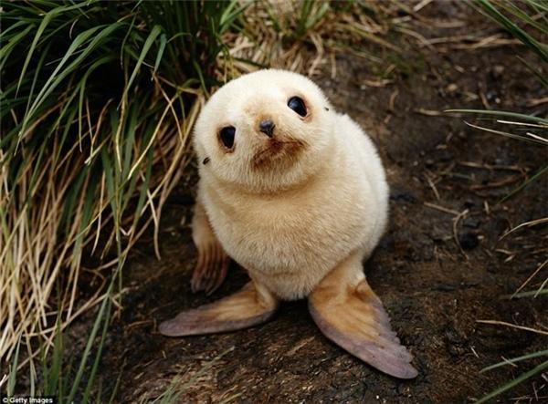 Chú hải cẩu bạch tạng ngơ ngác nhìn ống kính máy ảnh ở South Georgia, Nam Cực. Con t hú nhỏ mới chào đời này có lông màu trắng nhưng màu mũi và mắt vẫn bình thường như những con hải cẩu khác. (Nguồn: Daily Mail)