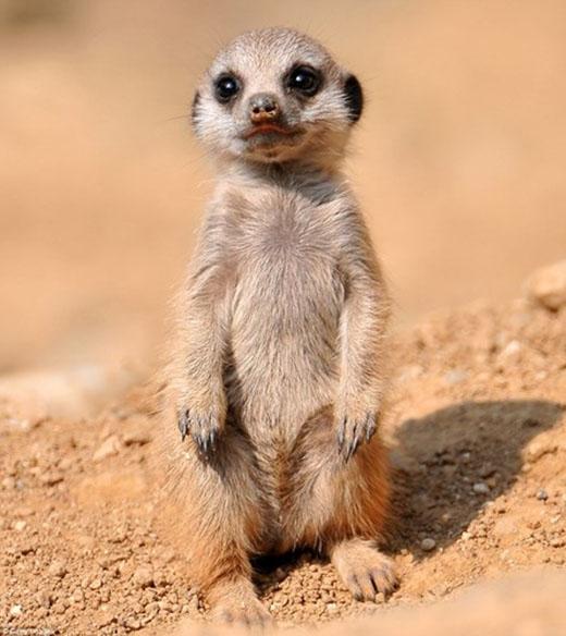 Chồn đất thường có thói quen đứng bằng hai chân sau. Chúng sống tại các sa mạc khô cằn ở châu Phi. (Nguồn: Daily Mail)
