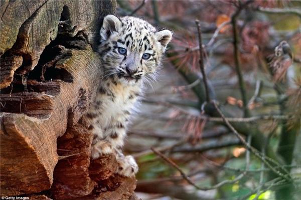 Báo tuyết con khám phá môi trường xung quanh trong một vườn thú ở Basel, Thụy Sĩ. (Nguồn: Daily Mail)