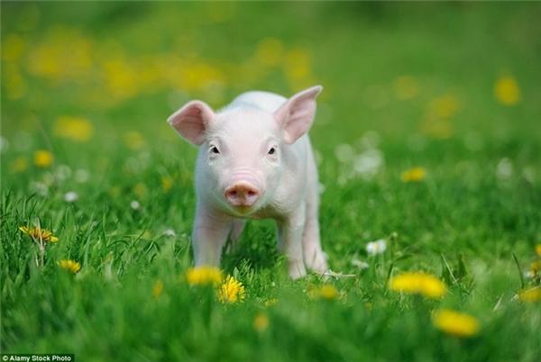Lợn con trông rất đáng yêu khi đi dạo trên đám cỏ xanh mướt. (Nguồn: Daily Mail)
