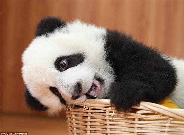 Gấu trúc con được chăm sóc tại trung tâm nghiên cứu và bảo tồn gấu trúc Bifengxia ở Tứ Xuyên, Trung Quốc. (Nguồn: Daily Mail)