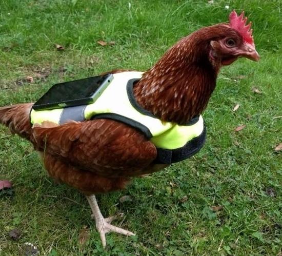 Chú gà tội nghiệp thay vì đẻ trứng thì phải đi bắt Pokemon. (Ảnh: internet)