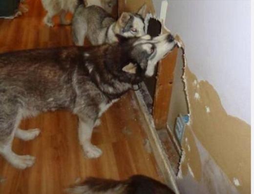 Vượt ngục phiên bản Husky