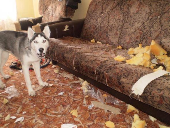 Làm Husky, không quậy
