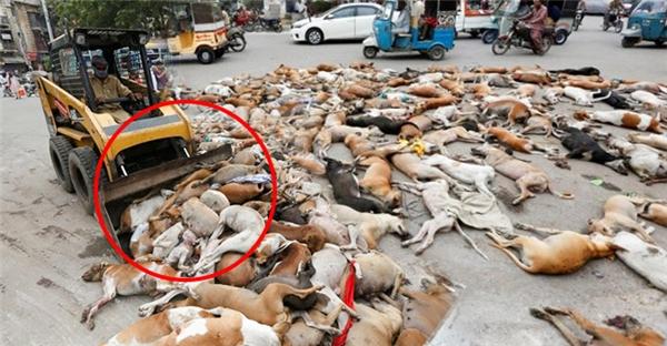 Phẫn nộ với hành động giết hàng loạt 700 con chó ở Pakistan