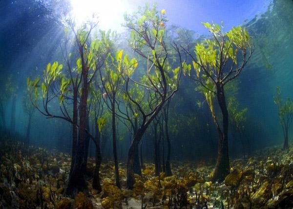 Có lẽ bạn sẽ không nhận ra và khi được tiết lộ cũng sẽ không tin nổi lànhững cây xoài này thực chất đang mọc và phát triển ở dưới nước đâu, đúng không nào?(Ảnh: Internet)