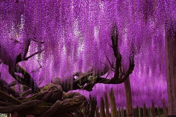 Cây hoa Tử Đằng 144 tuổi này tượng trưng cho tình yêu vĩnh cửu. Vì thế mà nhiều cặp đôi tại Nhật Bản đã tìm đến nơi đây để chụp hình với hy vọng cây sẽ phù hộ cho cuộc tình của họ mãi vững bền.(Ảnh: Internet)