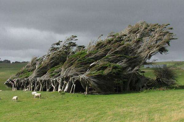"""Đừng lầm tưởng gió đãkhiến cây ngả nghiêng thế này mà thật ra hình dạng củanó thựcsự như thế. Chính vì vậy mà nó có tên là """"cây bão táp""""ở đảo Nam của New Zealand.(Ảnh: Internet)"""