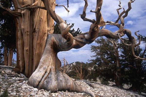 Thông Bristlecone là một trong những loài câylâu đời nhất trên thế giới thườngmọc ở vùng núi khô cằn phía Tây nước Mĩ. Dù môi trường ở đây cực kì khắc nghiệt nhưng chúng vẫn vươn cao và chứng tỏ sức sống mạnh mẽ của mình qua năm tháng.(Ảnh: Internet)