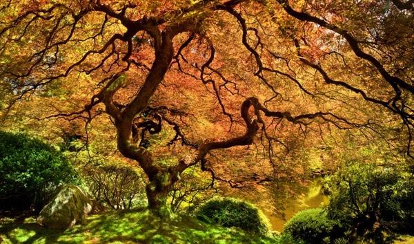 Một cây phong Nhật Bản kiêu hãnh dang rộng tán che kíncả một vùng trời tại Portland, Oregon, Mỹ.(Ảnh: Internet)