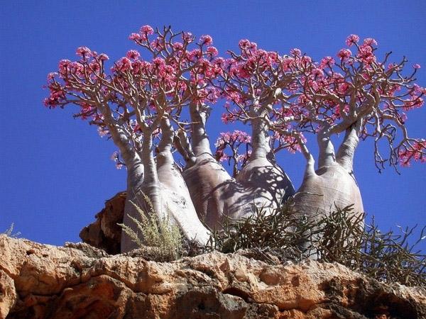 """Những """"cây chai"""" của Socotra có vẻ ngoài như một cái chai, gần giống vớicác cây baobabs nhỏ nhưng lại cóthân cây cao và rễ củ lớn hơn. Ngoài ra,chúng cũngphát triển mạnh vàcắm rễ sâu vào các phiến đá hơn. Chính vì hoa nở ở điều kiện địa hình như vậy nên người ta gọi hoa của loài cây này là""""bông hồng sa mạc"""".(Ảnh: Internet)"""