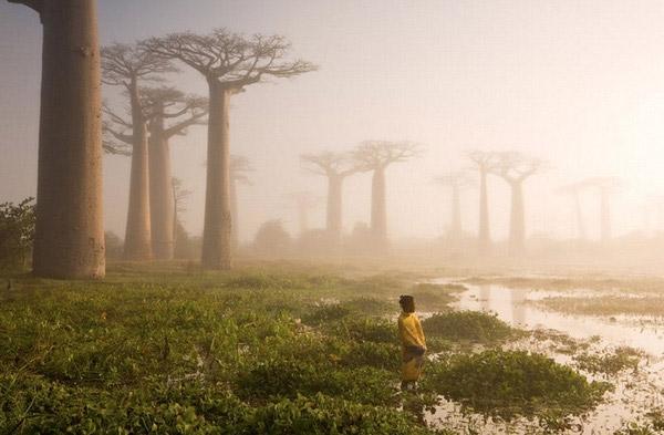 Những cây bao báp trênthuộc họ Gạo và chỉ mọcở Madagascar, châu Phi, hoặc châu Úc. Mặc dù phải tồn tại ởnhững nơi có điều kiện sống khắc nghiệt nhất, nó vẫn mạnh mẽ vươn lên như những cánh tay đang đỡ lấy bầu trời.(Ảnh: Internet)