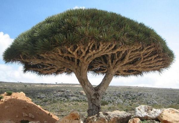 Cây máu rồng Yemen có hình thù như một chiếc dù lớn phủ rộng cả một vùng đất. Người dân ở đây cho rằng nhựa đỏ tiết ra từ cây là máu rồng nên họ dùng nó để nhuộm, làm sơn và chữa bệnh.(Ảnh: Internet)
