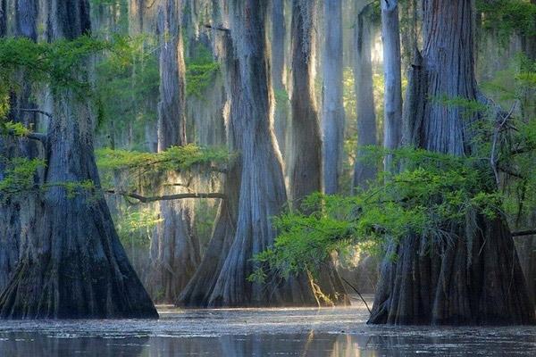 Vươn mình từ mặthồ Caddo tĩnh lặng, những cây bách đưa tán lá xanh rì rũ nhẹ xuống mặt nướckhiến nơi đây hệt như cảnh thần tiên trong một câu truyện cổ. Được biết, loài cây này sống ở môi trường ngập nước và có tuổi thọ trên 1000 năm.(Ảnh: Internet)