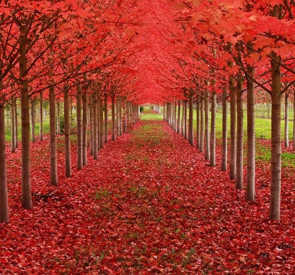 Nếu Nhật Bản có hoa Tử Đằng phủ tím cả vùng trời thì Oregon, Mỹ,có con đường phong đỏ rực đến hút mắt.(Ảnh: Internet)