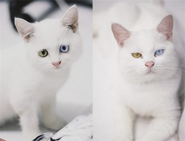 Thần thái đã thay đổi theo năm tháng của chú mèo đực tuyệt đẹp mang tên Ngọc Chinh. (Ảnh: Lai N Nguyen)