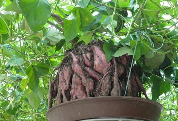 Bạn đặt những chùm rễ mọc ra từ thân vào các chậu, bồn có chứa dung dịch thủy canh.