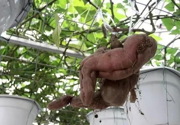 Mỗi gốc khoai lang như vậycó tuổi thọ trung bình từ 3đến5 năm và cho năng suất khoảng 1 tấn củ.