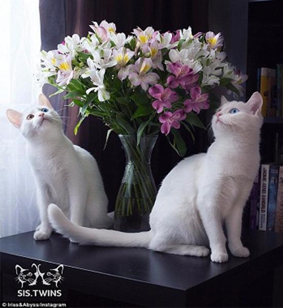 Cặp mèo song sinh này là một sự kết hợp gen hoàn hảo và tự nhiên.(Ảnh: Instagram)