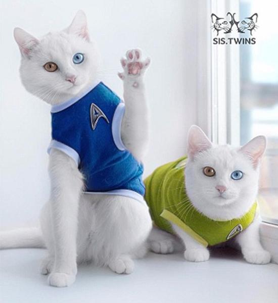 Ngắm hoài không chán cặp mèo song sinh có hai màu mắt tuyệt đẹp