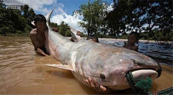 Con cá tra dầu nặng 293kg, dài 2,7mgiữ kỉlục là con cá nước ngọt nặng nhất thế giới.