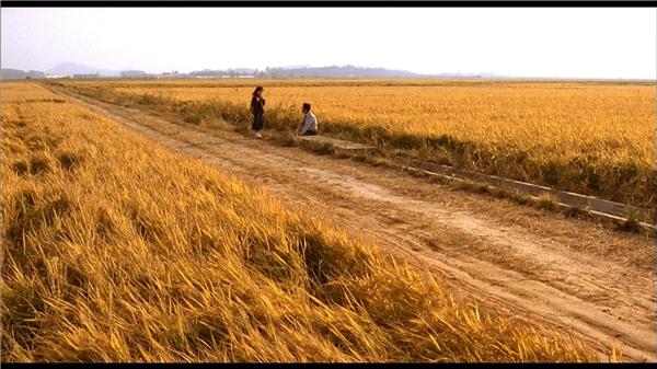 Hiện trường vụ án là một cánh đồng lúa vàng bình yên.(Ảnh: Internet)
