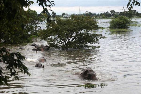 Chú voi này là nạn nhân của trận lụt lịch sử ở Assam, Ấn Độ. (Ảnh: BDNews24)