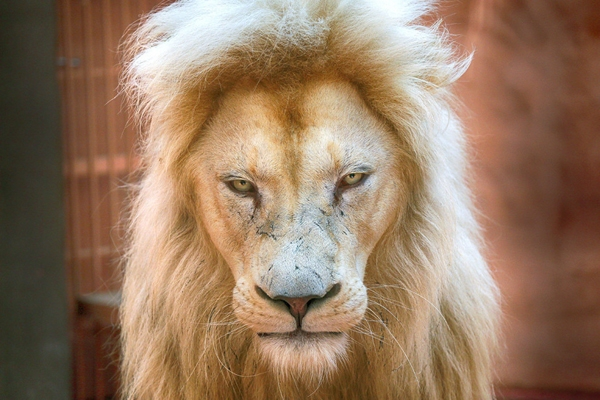 Chú sư tử trắng 5 tuổiLudwig, cha của 5 con sư tử trắng con đang nhìn về phía cameratại một vườn thú tư nhân ở làng Demydiv, Ukraine. Hầu hết những con sư tử trong điều kiện nuôi nhốt sẽ khó đột biến màu sắc hơn so với những con sư tử sống điều kiện tự nhiênhoang dã.