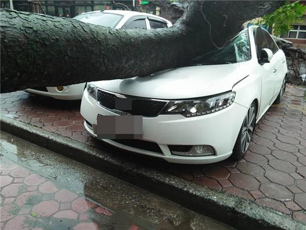 Gió mạnh khiến cây xà cừ bị bật gốc, đèbẹp mộtxe ô tô đang đỗ tại trước sảnh tòa nhà Hanoi Tower. Chiếc xe đỗ sátbên cạnh không cóảnh hưởng gì.