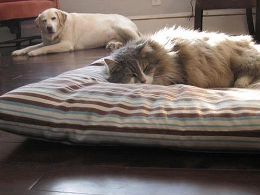 """Triết lí của mèo: """"Cái gì của mèo thì mãi mãi là của mèo, cái gì không phải của mèo thì trước sau gì nó cũng thuộc về mèo""""."""