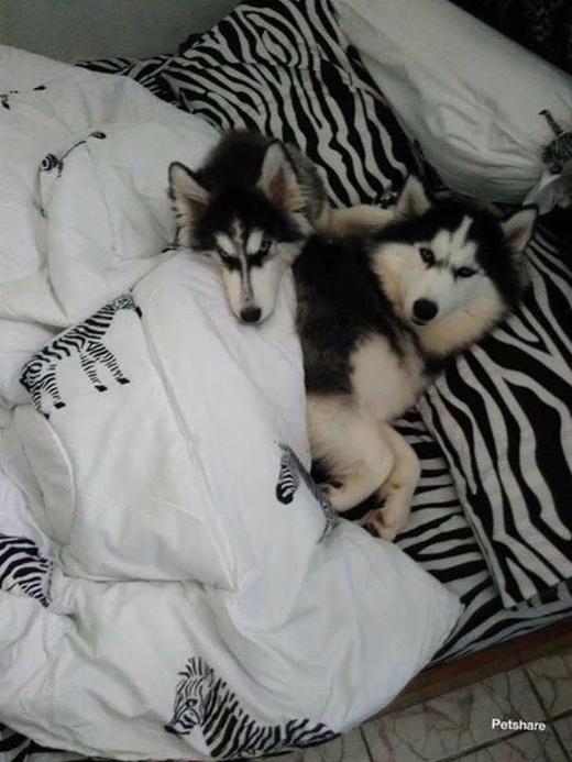 Ánh mắt hơi khó chịu, có lẽ là chú chó này đang bị mất ngủ đây.