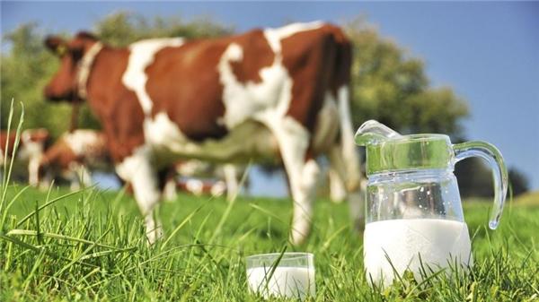 Sữa bò ngày này có chứa nhiều rBST, hóa chất gây ra ung thư ở người.