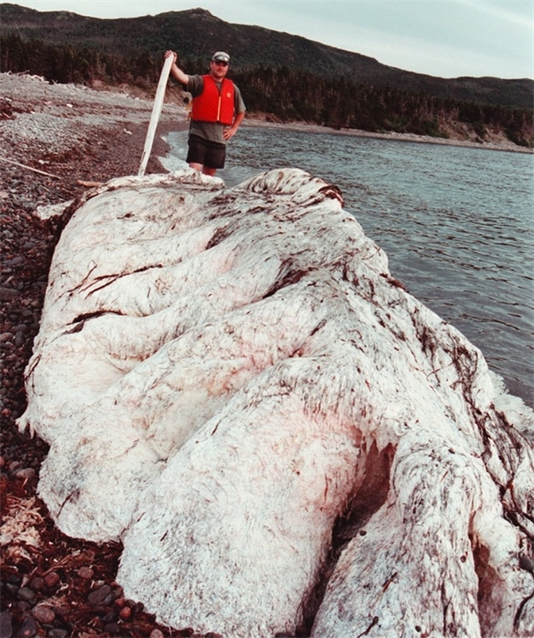 Thủy quái được phát hiện trên bãi biển Newfoundland.