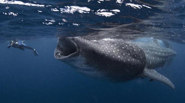 Hãy hy vọng rằng đây không phải ảnh chụp con cá đang định nuốt chửng người thợ lặn mà chỉ là nó đang muốn được... khám răng mà thôi.