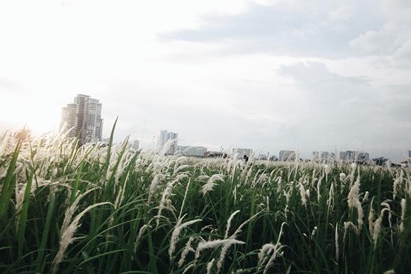 Rời trung tâm thành phố, bạn sẽ ngỡ ngàng với đồng cỏ lau bao la bát ngát gần đảo Kim Cương ở quận 2.