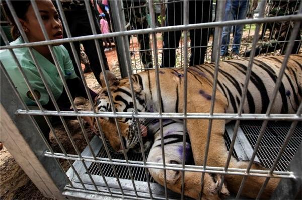 Những con hổ bị giam hãm trong không gian tù túng, chật hẹp.