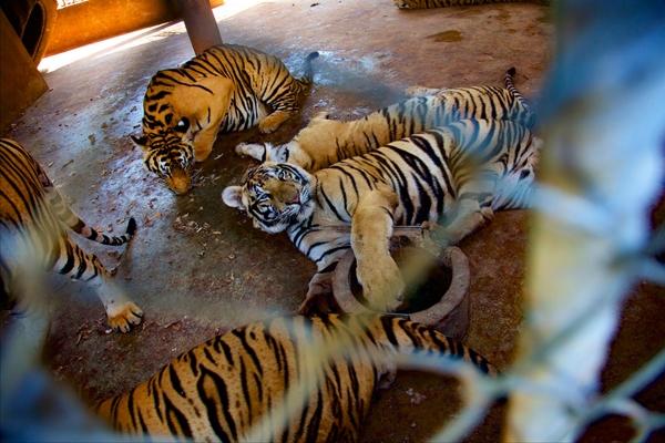 Sự thật tàn nhẫn đằng sau nước mắt của những chú hổ ở Thái Lan