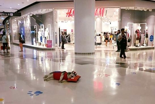 Chú chó Yaris có thể ngủ say như chếtở mọi nơi, mọi lúc và trong mọi trường hợp.