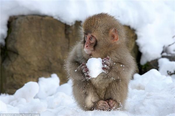 """Chú khỉ con nàyđang trang bị vũ khí để """"chiến"""" với bầy đàn."""