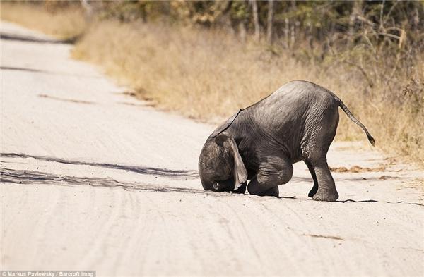Một chú voi con đangcày mặt xuống đường ở Zimbabwe.