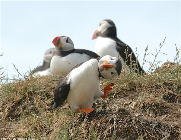 """Loài chim biển này đang ra sứctạo dáng """"độc"""" trước máy ảnh thì phải."""