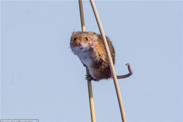 Chú chuột này đang cố gắng làm trò để được các nhiếp ảnh gia chú ý đây mà.