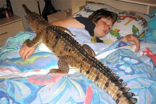 Một trong 3 con cá sấu đang bò lên giường ngủ của cậu chủ.